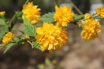黄色迎春花