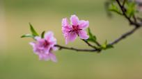 一枝盛开的桃花
