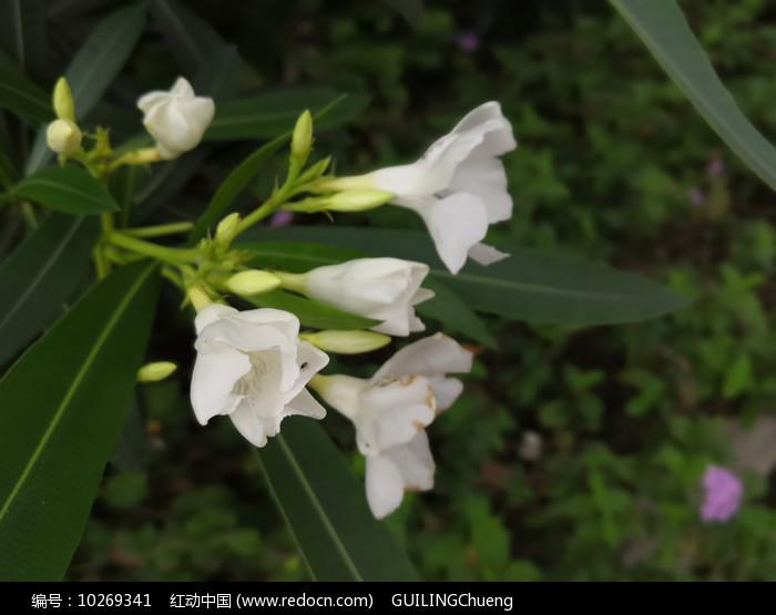 白色夹竹桃 图片