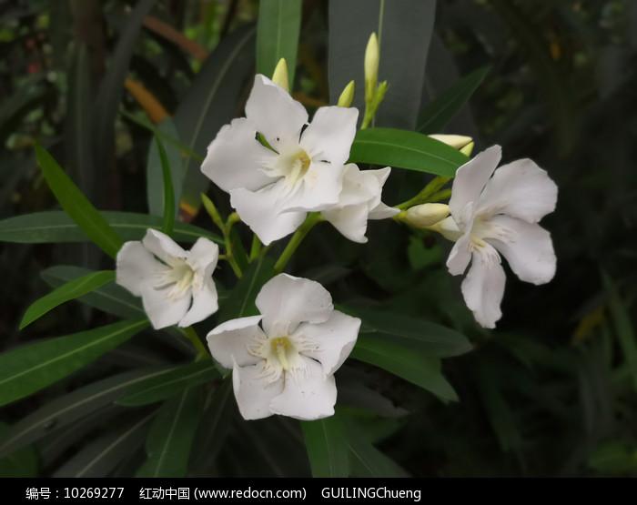 白色夹竹桃花卉图片