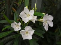 白色夹竹桃花卉