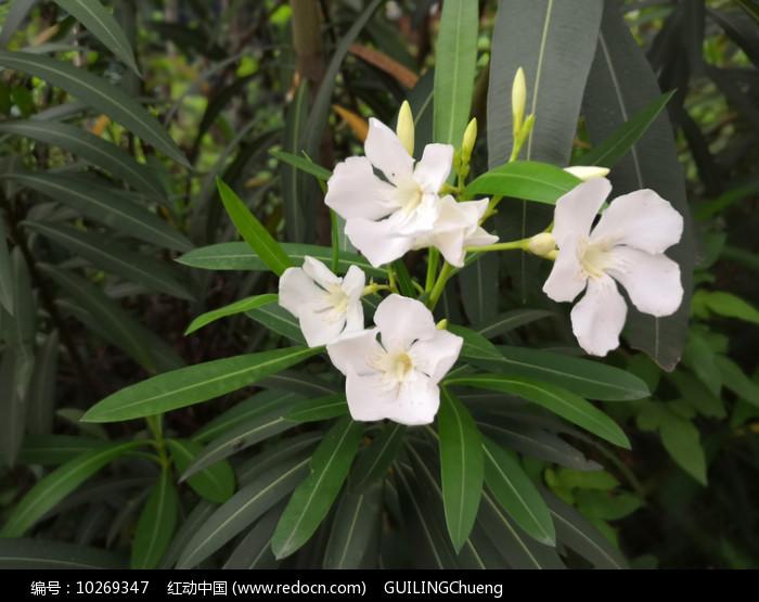 白色夹竹桃花图片图片