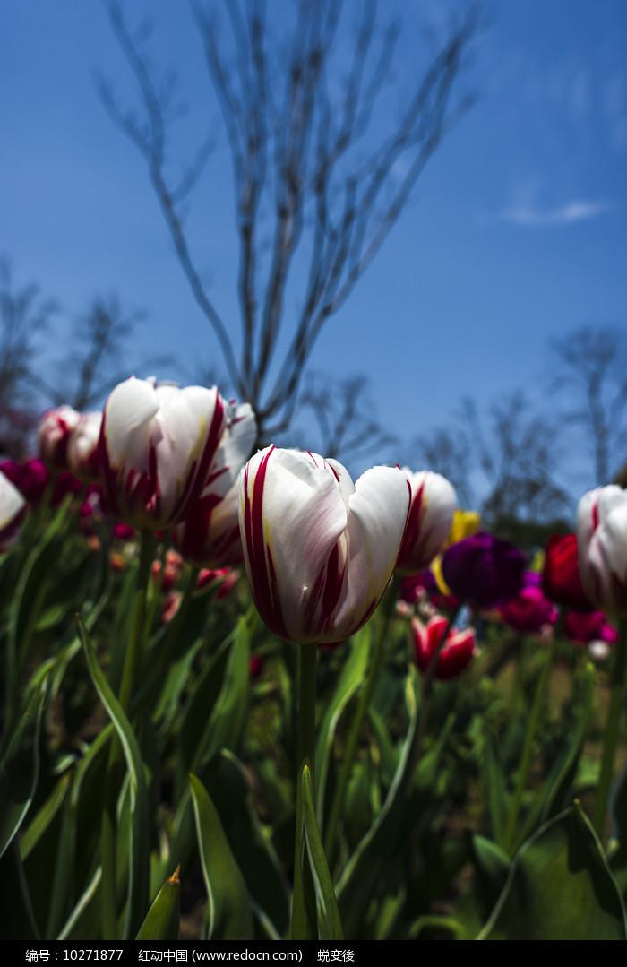 白色郁金香图片