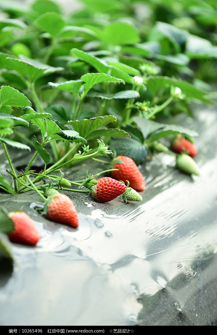 半生长草莓滕图片