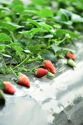 半生长草莓滕