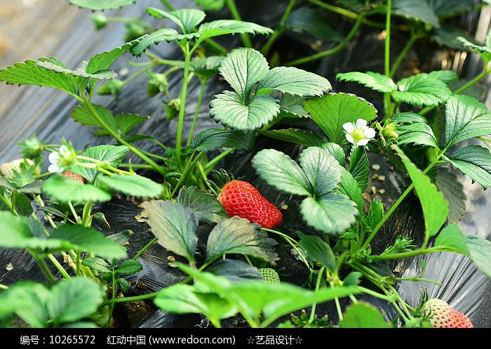 草莓果实图片