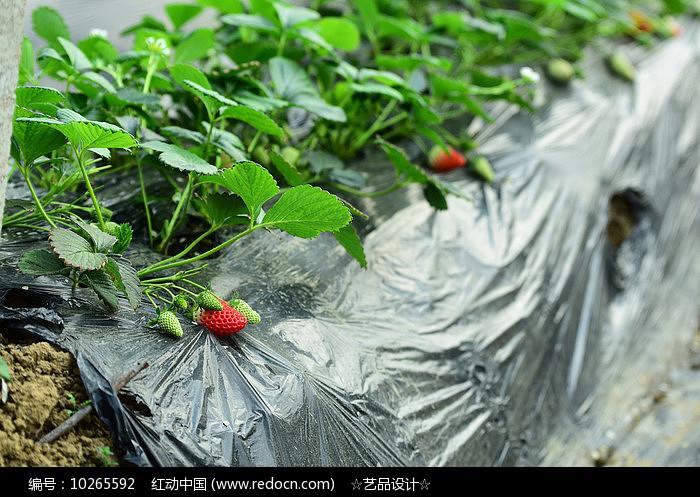 草莓生长果实图片