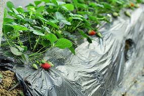 草莓生长果实