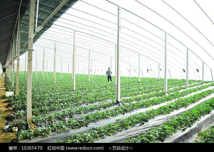 草莓养殖场图片