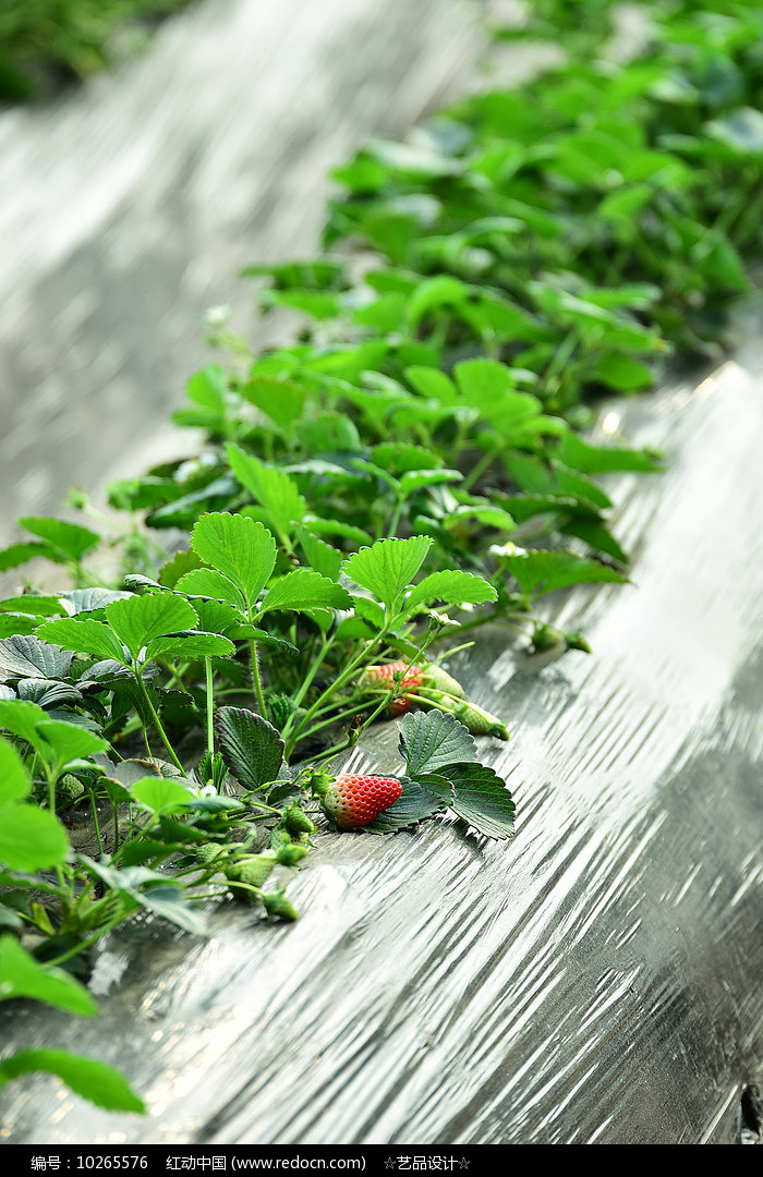 地上的红草莓图片