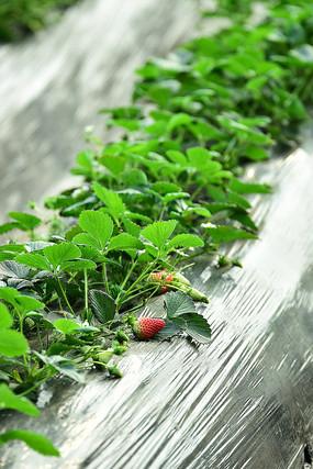 地上的红草莓
