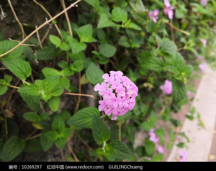 粉色花朵五色梅花卉图片