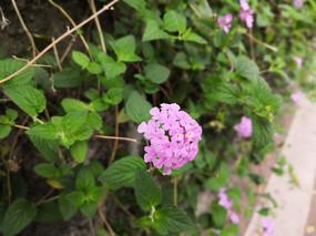 粉色花朵五色梅花卉