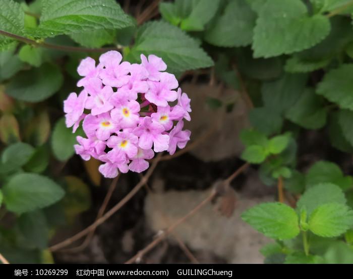 粉色花朵五色梅特写图片