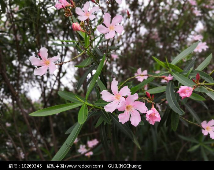 粉色夹竹桃花图片