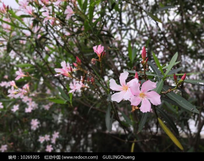 粉色夹竹桃花朵图片