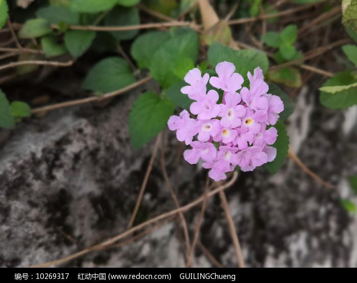 粉色五色梅花卉 图片