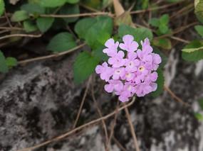 粉色五色梅花卉