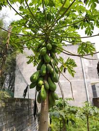 挂满青木瓜的的木瓜树