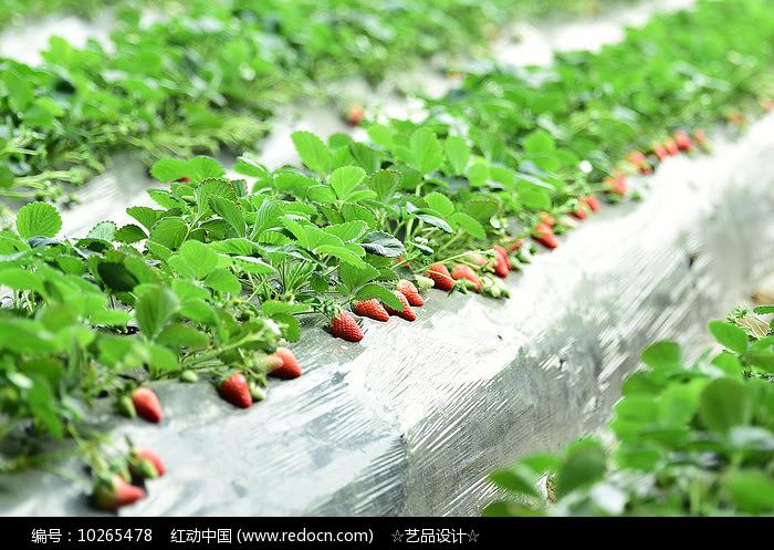 进口草莓养殖图片