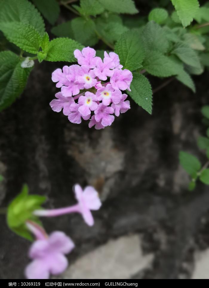 路边的粉色花朵 图片