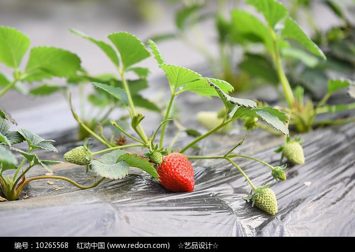 生长的草莓图片