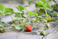 生长的草莓