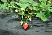 生长周期的草莓