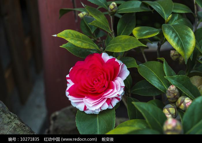 盛开的茶花图片