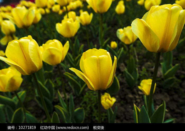 盛开的黄色郁金香图片