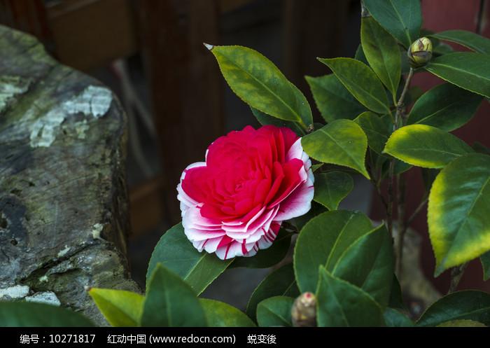 盛开的山茶花图片