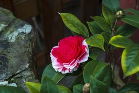 盛开的山茶花