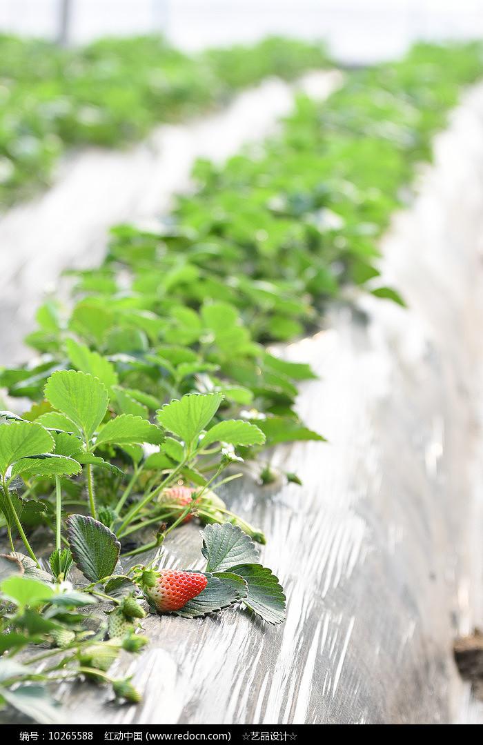 藤上的草莓图片