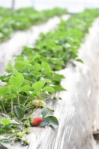 藤上的草莓