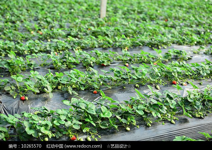 甜宝草莓场地图片