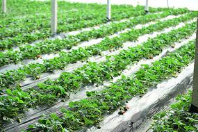 甜宝草莓地养殖