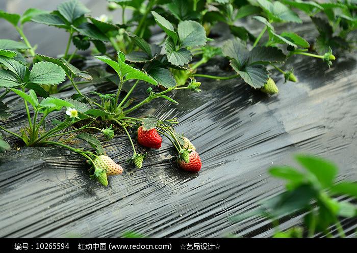 未熟的草莓图片