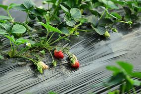 未熟的草莓