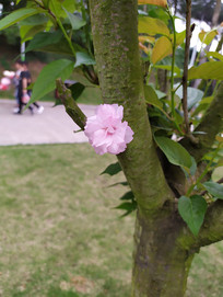 樱花树花朵实拍图