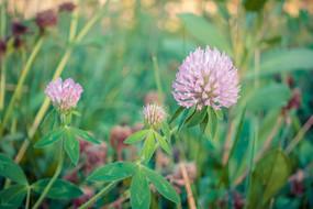 粉色球型花