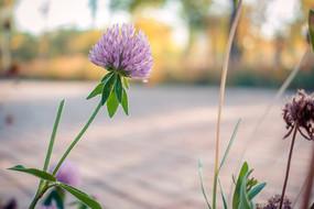 粉色球型花朵
