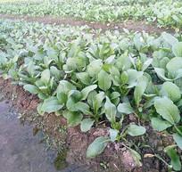 绿油油的农家菜园的小青菜