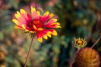 蜜蜂与黑心菊