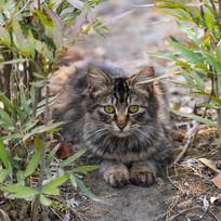 趴在草丛中的可爱小虎斑猫