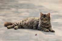 趴着的长毛虎斑猫