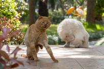 起身站立的橘猫