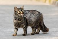 威武霸气的长毛虎斑猫