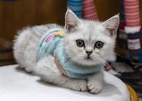坐在椅子上的灰白色英短猫
