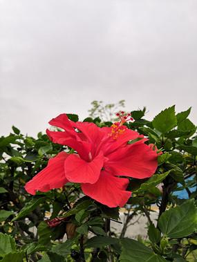 红色的朱槿花
