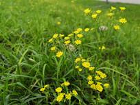 黄色花朵的稻槎菜